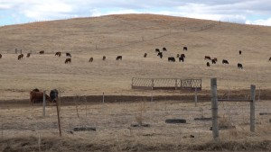 Cows in the field.